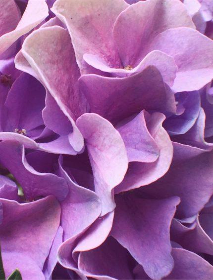 Purple hydrangea petals ... ☂️💜